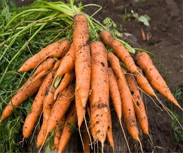 樓頂種菜 衚蘿蔔