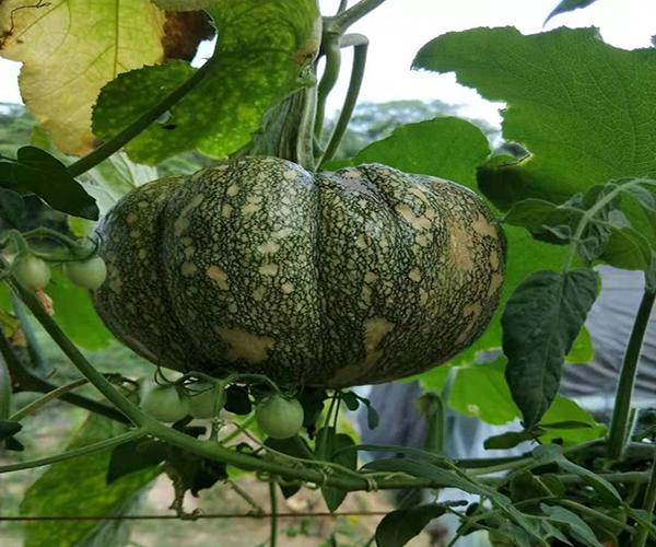 庭院種菜 南瓜