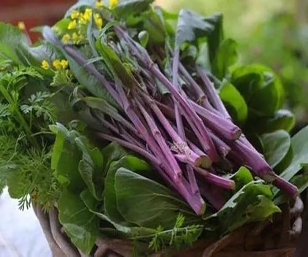 庭院种菜 红菜苔